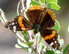 A Red Admiral butterfly visiting an Arctostaphylos wellsii, an uncommon manzanita, endemic to the central coast of California.  - grid24_6