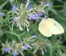 Lobelia dunnii var. serrata, Dunn's Lobelia, is here being visited by a Harford Sulfur butterfly.