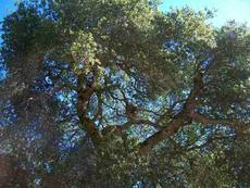 Quercus agrifolia, Coast Live Oak can be a large tree. - grid24_6