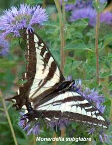 Monardella subglabra, with a pale swallowtail butterfly - grid24_6