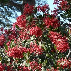 Toyon has  red berries that are relished by many bird species. - grid24_6