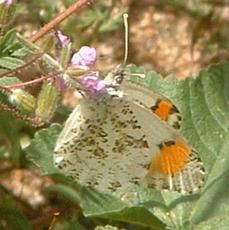 The spring form of Western Orange Sara Tip has been called Reakit's Orange Tip. - grid24_6