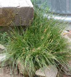 Carex praegracilis (clustered field sedge) - grid24_6