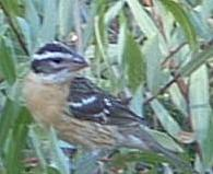 An old photo of Black headed Grosbeak - grid24_6