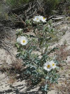 Argemone munita, Prickly Poppy, growing in one of its natural open, sunny habitats, chaparral edges.   - grid24_6