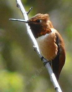 Rufous Hummingbird, 