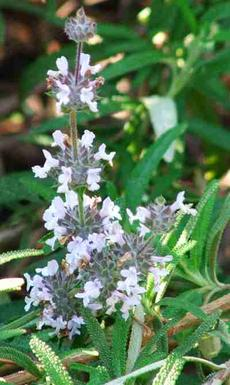 Salvia mellifera repens, Black sage repens flowers