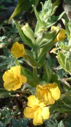 Clevelandii Monkey flower grows on Southern California mountain tops.