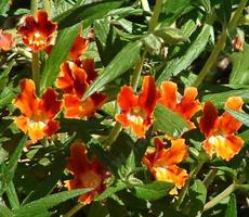 Santa Susana Monkey Flower, Diplacus  rutilus, has a BIG red flower and grows native in North Los Angeles, Pasadena. Los Angeles has GREAT native plants! - grid24_6