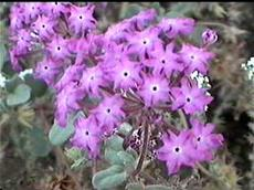 An old photo of Abronia villosa var. aurita, Sand Verbena, from the south coast of California. - grid24_6