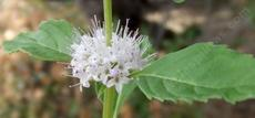 Mentha arvensis, Field Mint, is one of the mint species that is used commercially in mint tea.