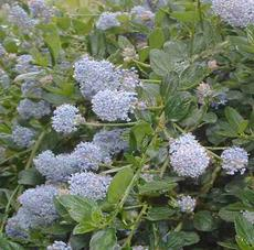 The blue flowers of Ceanothus thyrsiflorus repens a wonderful on a north slope or on the edges of a shady glen.