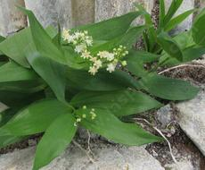 Smilacina stellata False Solomons Seal - grid24_6