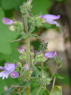 Penstemon rattanii, Rattan's beardtongue flowers