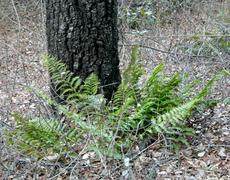 Dryopteris arguta Wood Fern - grid24_6