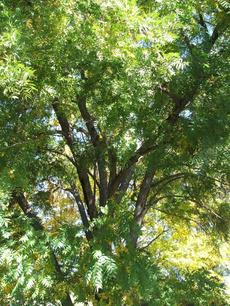 Here is a nice specimen  of Juglans hindsii, Northern California Walnut in the Santa Margarita garden.  - grid24_6
