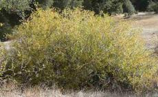Salix lasiolepis, Arroyo Willow, as bush