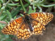 Northern Checkerspot - grid24_6
