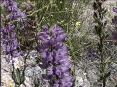 An old picture of Lupinus latifolius