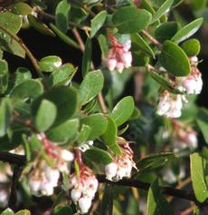 Morro Bay Manzanita, Arctostaphylos morroensis. Even though it grows in Los Osos - grid24_6