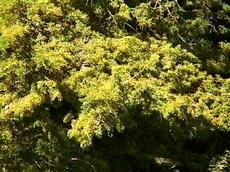 Cupressus macrocarpa, or Monterey cypress in flower