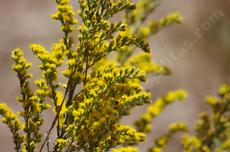 Solidago californica, California Goldenrod spoke