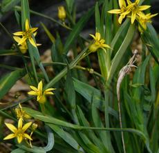 Sisyrinchium elmerii is a very small yellow eyed grass. Little yellow eye.