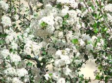 The white form of Buckbrush, Ceanothus cuneatus - grid24_6