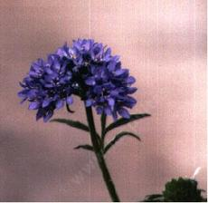 Gilia capitata, Globe Gilia, is adored by butterflies in the spring.