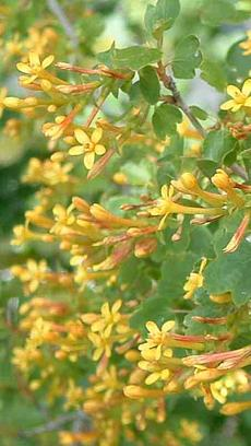 Ribes aureum gracillimum, Golden Currant has reddish yellow flowers.