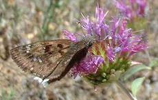 Mournful Duskywing,White-edged Dusky Wing,  Erynnis tristis on a Monardella flower - grid24_6