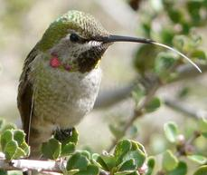 A young Anna's hummingbird sticking his tongue out at the photographer. - grid24_6