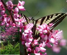 A Pale Swallowtail butterfly on  the Redbud, Cercis occidentalis, the inset shows Golden Currant, Ribes aureum gracilentum flowered exactly right.  - grid24_6