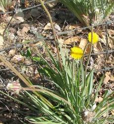 Agoseris grandiflora,  Mountain dandelion flower