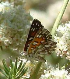 Apodemia mormo virgulti; Behr's Metalmark  on a buckwheat - grid24_6