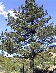 Pinus jefferyi, Jeffrey Pine - grid24_6