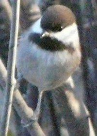 A Chestnut backed Chickadee - grid24_6
