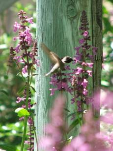 Stachys chamissonis, Magenta Butterfly Flower with an Anna Hummingbird.