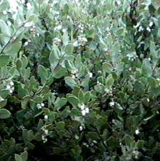 An old picture of Arctostaphylos myrtifolia