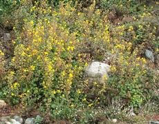 Mimulus guttatus, Seep Monkey Flower, growing on a hillside. - grid24_6