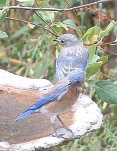 Western Bluebirds at the bird bath - grid24_6
