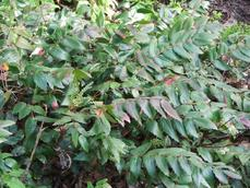 Mahonia nervosa occurs from about San Jose North in both the coast ranges and Sierras. - grid24_6