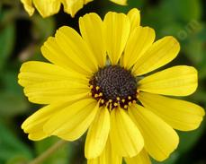 Encelia californica - California encelia, California brittlebush, bush sunflower  - grid24_6