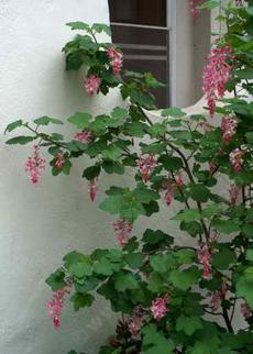 Pink flowering currant against a north wall - grid24_6