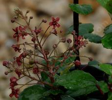 Ribes viburnifolium, Catalina Currant, is an evergreen currant, with tiny reddish-pink flowers. - grid24_6