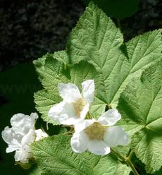 Thimbleberry,  Rubus parviflorus in flower - grid24_6