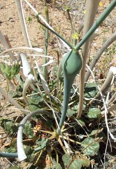 Eriogonum inflatum (desert trumpet) is a buckwheat with a swollen stem.