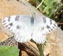 Thumbnail of Common White Butterfly - grid24_6