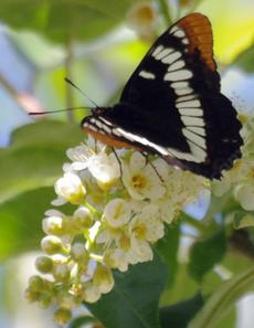 Lorquin's Admiral on a Western Chokecherry - grid24_6