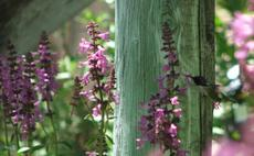 Stachys chamissonis, Magenta Butterfly Flower with hummingbird - grid24_6
